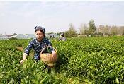 又是一年茶飘香!临港区4万亩茶叶待客来