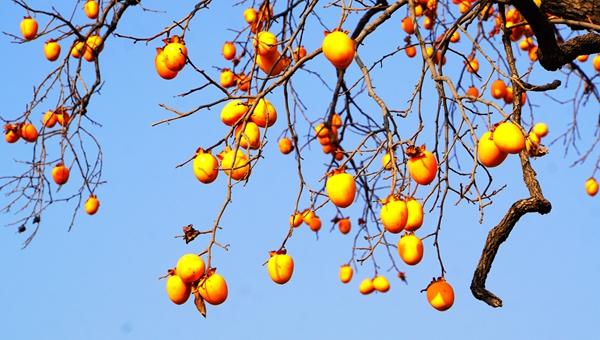 火红的柿子映红了天!枣庄山亭柿子喜获丰收