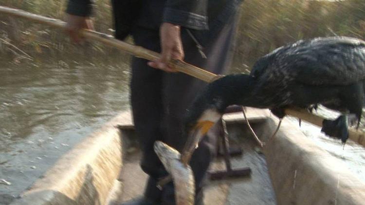 97秒丨你见过鱼鹰捕鱼吗?走!去淄博看两百年老技艺