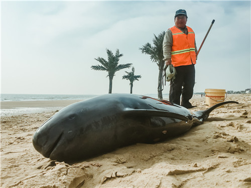 日照阳光海岸景区发现一死亡江豚 身长1.2米