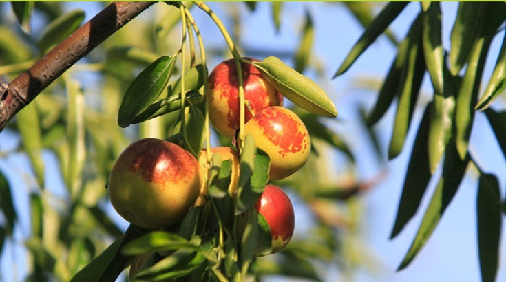 山东:贫困地区发展特色经济林13.5万亩