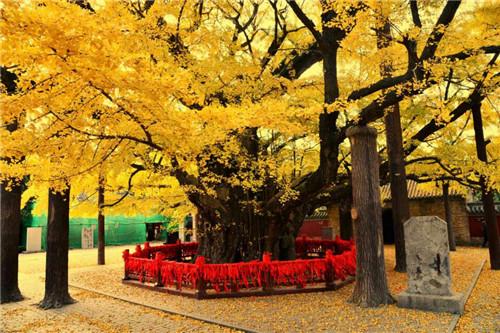 挂满黄金叶 浮来山千年银杏树迎来最美时节