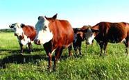 1947头澳牛抵达荣成石岛 全国最大批次屠宰肉牛进口