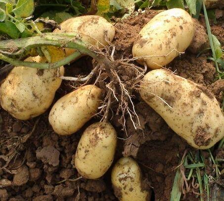 滕州今秋4.1万马铃薯参保农户获赔432.12万