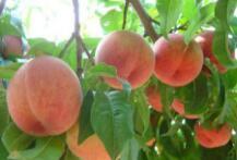 15个临沂品牌入围2017年中国果品区域公用品牌价值榜