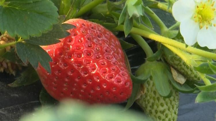 40秒丨大棚里的草莓熟啦!是时候来一场冬季周末采摘了