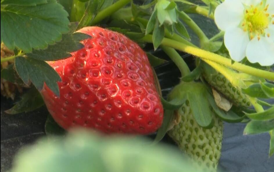 喜欢采摘的看过来!山东这些地方草莓陆续成熟