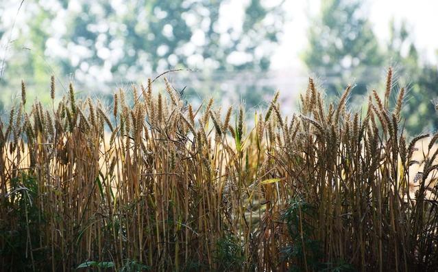 山东粮食总产达944.64亿斤 连续6年稳定在900亿斤以上