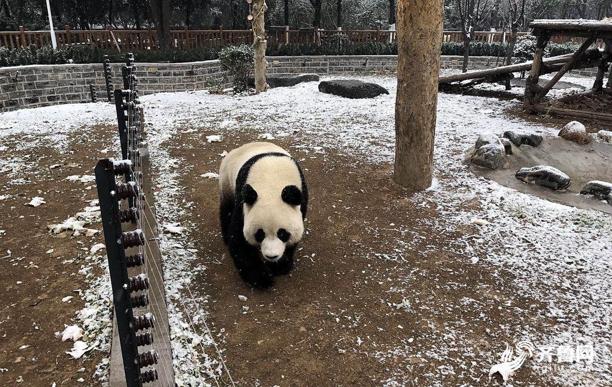 萌化了!济南迎今冬首场降雪 动物园大熊猫雪地撒欢