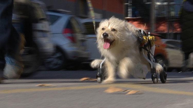 """100秒丨遇暖心主人 狗狗后肢瘫痪靠护具奔跑仍笑对""""汪生"""""""