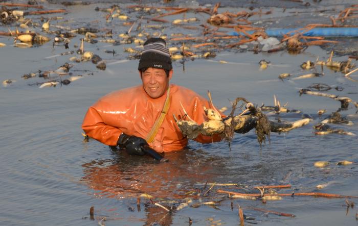 镜头记录潍坊冬日采藕人的艰辛:每天8小时浸泡在水中