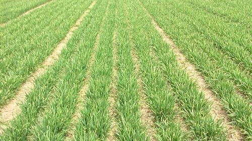 山东:部分地区小麦播期推迟 应及时镇压划锄