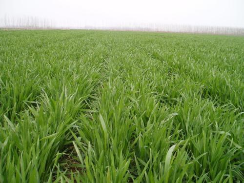 山东全省小麦进入越冬期 大部分农田土壤墒情适宜