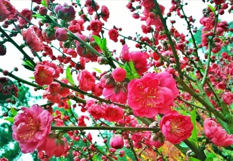 """网络截图  齐鲁网2月24日讯 《三生三世十里桃花》正值热播,剧中人物最爱看十里桃花,最爱桃花酿。剧情里不断出现的世外桃源,灼灼桃夭、十里芳华,漫山遍野的桃花仙境,一切都仿佛从画中走来。 荣获大世界吉尼斯之最——世界最大桃园就在山东。在济南仲宫也藏着一片"""" 桃花源"""",在潍坊青州桃花谷也有上万亩的桃花,从山脚下一直延伸到城区边缘,连绵数平方公里,那一丘丘一层层的桃花,犹如一片浩瀚的海洋。 一起来看看在山东哪里还能赏桃花吧? 济南仲宫万亩桃园  仲宫被称作济南"""