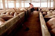山东:生猪供给仍将紧缺 猪价看涨至今年中期