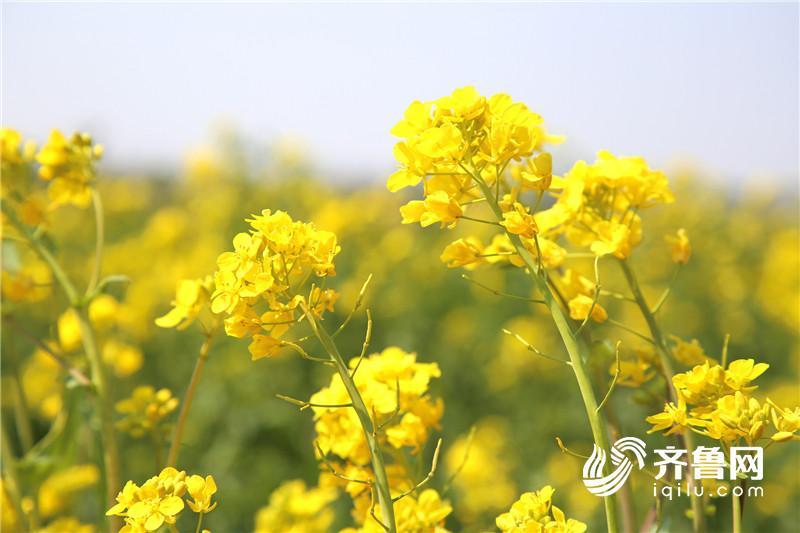 青岛西海岸生态园百亩油菜花绽放 3d版清明上河图惊艳
