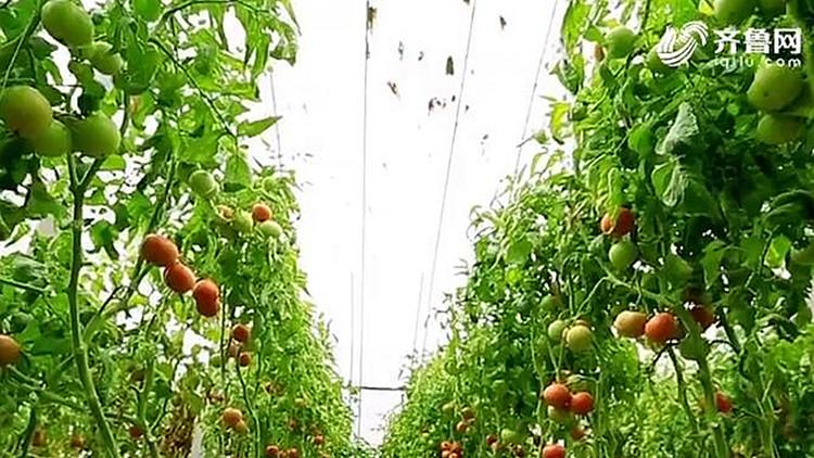【新时代 新气象 新作为】生态+农业+旅游+文化 临淄打造蔬菜产业新模式