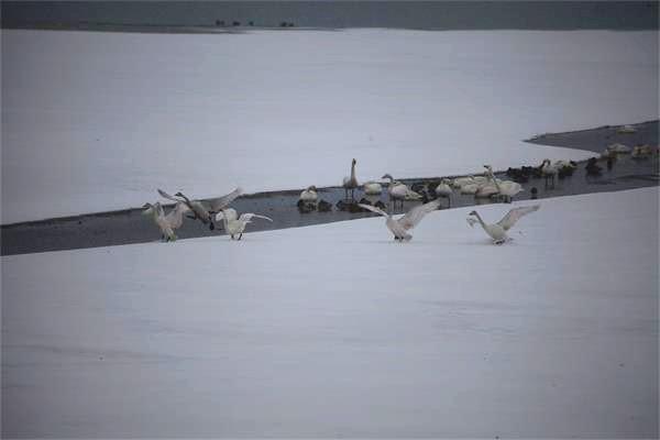 雪天和天鹅更配哦~荣成天鹅湖迎接首场降雪