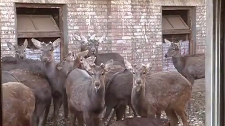"""急寻!德州村民17只梅花鹿""""拱""""门出走,仍有两只没找到"""