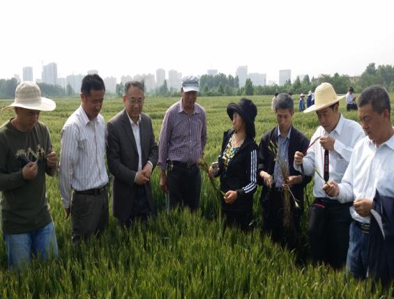 """把丰收写在希望的田野上,山农大小麦遗传团队荣膺""""黄大年式团队"""""""