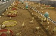 全国首批波兰进口种鸡抵荣 目前健康状况良好