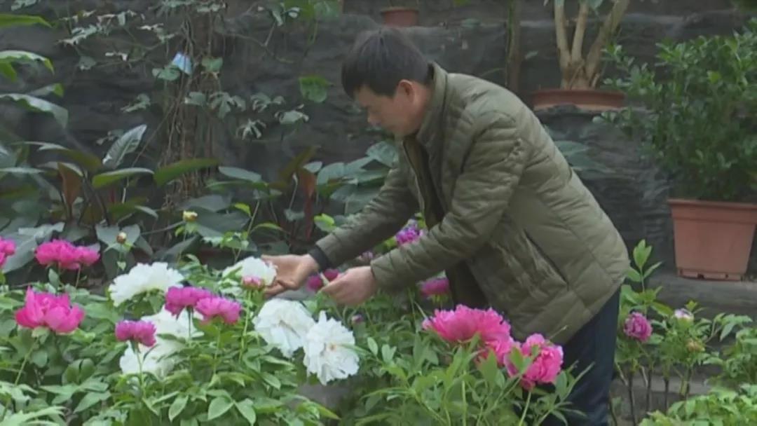"""73秒丨菏泽""""催花师""""这门技能厉害了:能控制牡丹开花时间"""