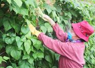 肥城新城街道发展设施农业1430亩 年增收达8000万