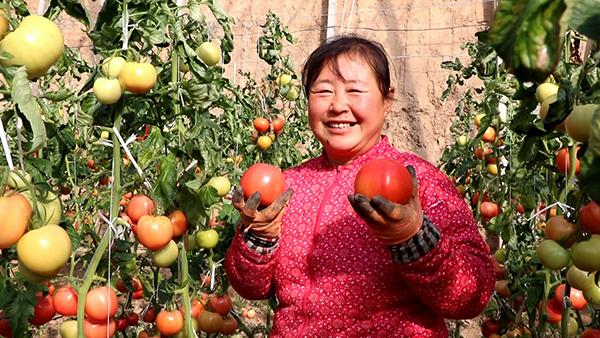 """新春走基层丨德州""""十八罗汉""""大棚里种番茄 人人都是乡村振兴生力军"""