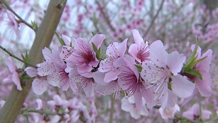 34秒丨桃花朵朵迎新春!菏泽巨野生态园内花香扑鼻
