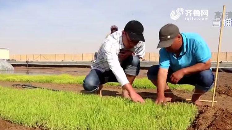 特别的春节|他们在中东沙漠种水稻,每天工作十几个小时