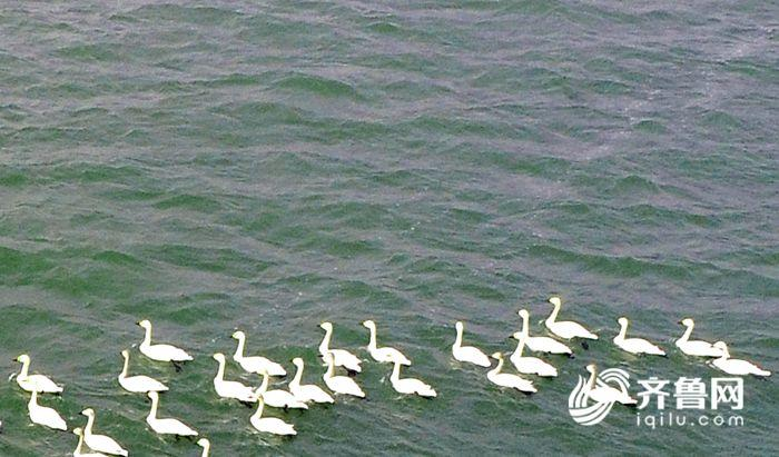 2018年2月28日,147只白天鹅栖息茌平金牛湖。 (4).JPG