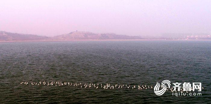 2018年2月28日,147只白天鹅栖息茌平金牛湖。.jpg