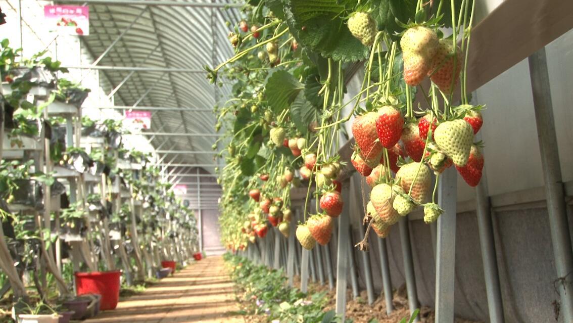 沂南这个村子不简单  靠小小的草莓一年产值能达4000万