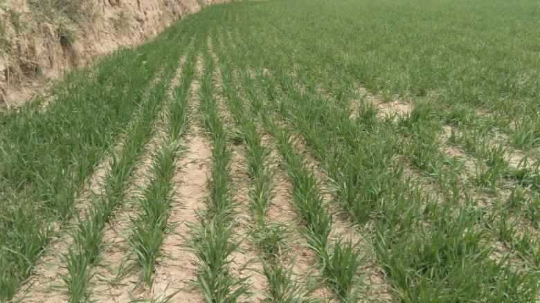 山东小麦一类苗面积比上年减少 力促苗情转化升级保丰产丰收