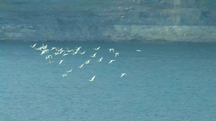 25秒|美!淄博太河水库飞来一群白天鹅