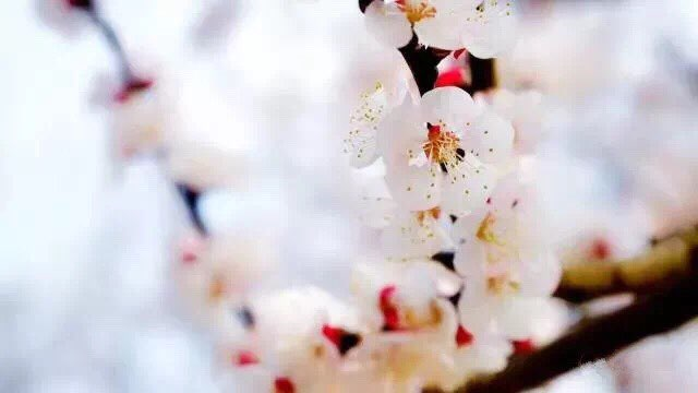 济南市第十七届杏花节3月17日开幕