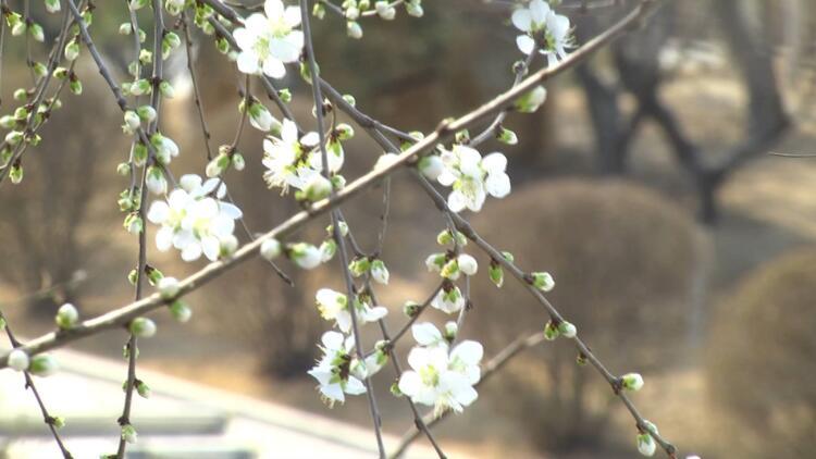 27秒丨美不胜收!青州南阳河畔桃花盛开 约你来赏春