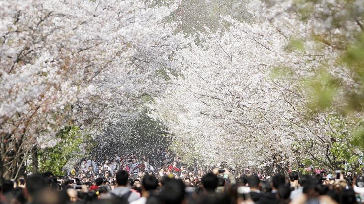 想看一场最美樱花雨 国内这些地方就可以