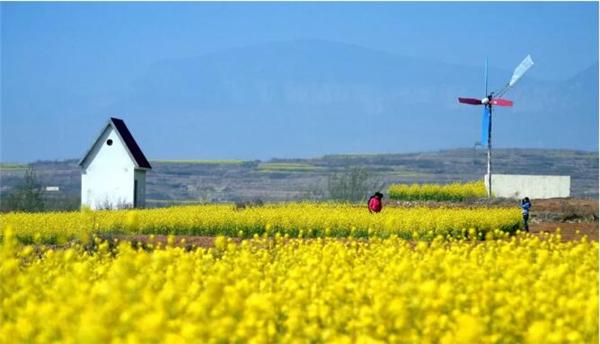 济南:油菜花即将进入盛花期 赏花攻略提前看