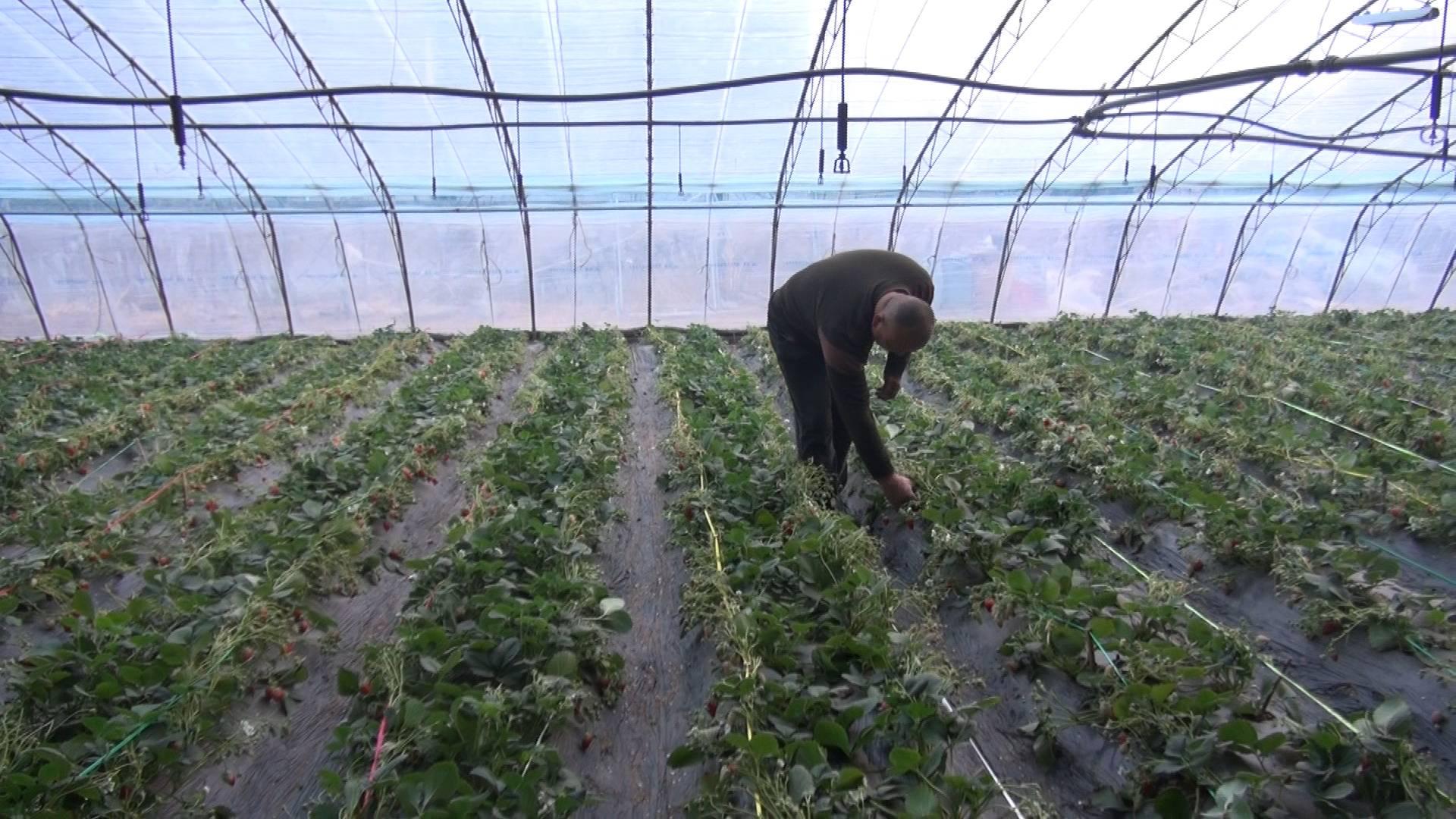 龙头企业带动!济南石崮沟村发展起了大棚采摘、农家乐、民宿……