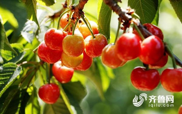 樱桃1.jpg