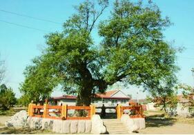 山东立法保护古树名木 单位个人认养可享署名权