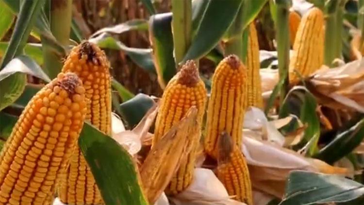 【打造乡村振兴齐鲁样板】李登海:开创玉米高产道路 助力乡村振兴