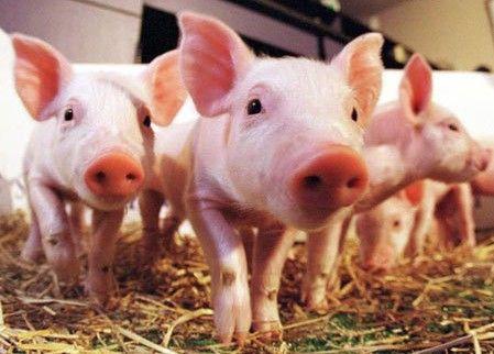山东生猪价格连续第9周继续走低 一头猪要赔掉200多元