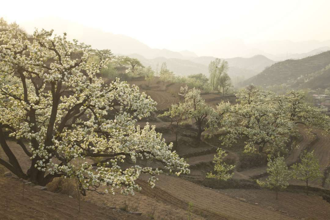 第十三届梨园文化观光周于3月30日在冠县开幕 为期20天