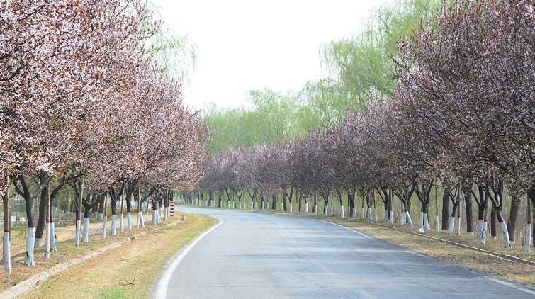 """济南有条""""紫叶李大道""""长达几十公里 7000余株竞相绽放"""