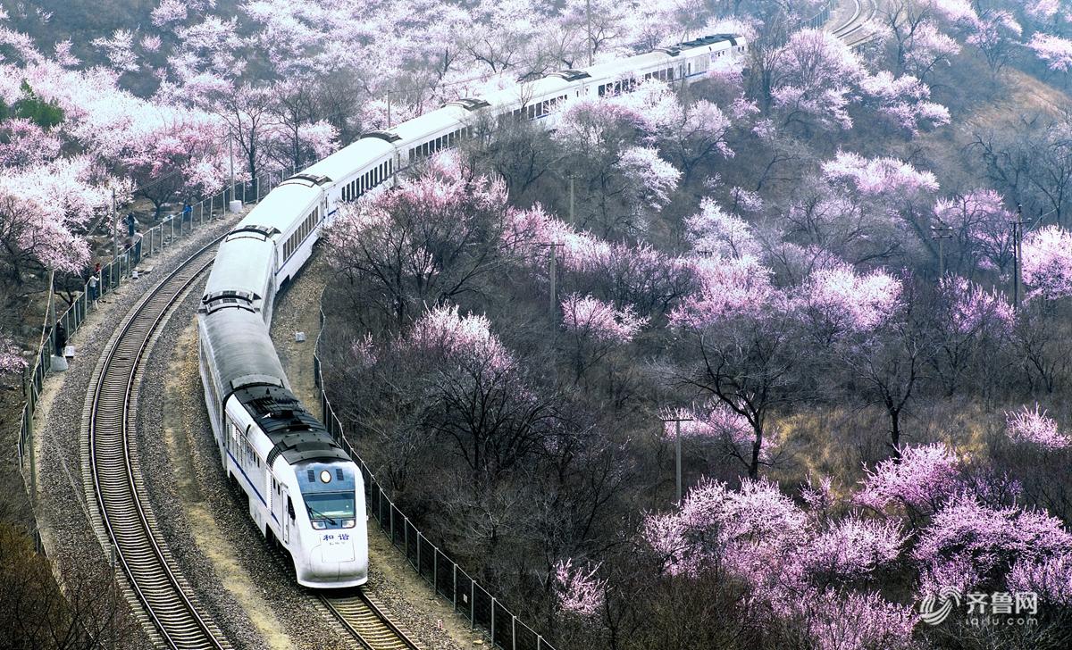 长城脚下山花怒放 花海与列车在春天里相遇