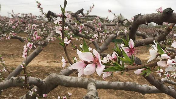 德州万亩桃园赏花节4月6日开幕 3条赏花专线等您来