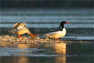 """威海南海新区惊现中华秋沙鸭 被称鸟类""""活化石"""""""
