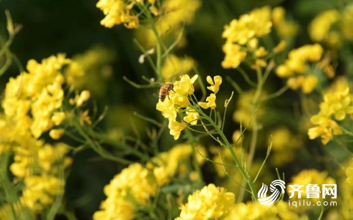 聊城民生  聊城4月9日讯 四月踏春好时节,东阿牛角店镇的油菜花已竞相
